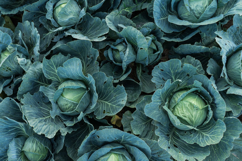 Agriculture Artichoke Backgrounds Beauty In Nature Brussels Sprout Cabbage Cauliflower Close-up Day Flower Head Food Food And Drink Fragility Freshness Full Frame Green Color Growth Healthy Eating Leaf Lettuce Nature No People Outdoors Plant Vegetable