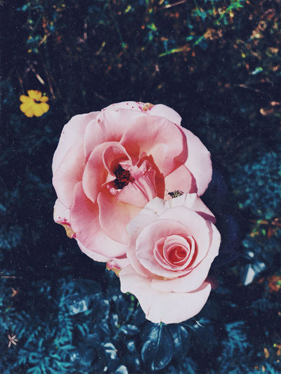 Flower Flowering Plant Plant Beauty In Nature Fragility Rosé Vulnerability  Petal Freshness Flower Head Close-up Inflorescence Pink Color Rose - Flower Nature Growth High Angle View Focus On Foreground No People Day Outdoors