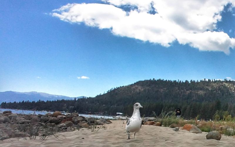 Seagull Lake Tahoe Beach Alpinelake Sierranevadamountains Animal Wildlife Laketahoebasin