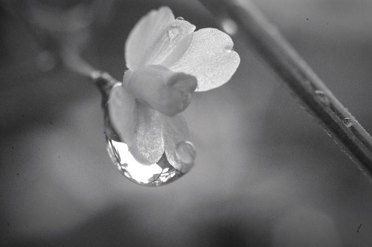 忘れることなんてできないよ。想いが募るばかりだよ。 Nature Flower Monochrome 水滴 雨粒