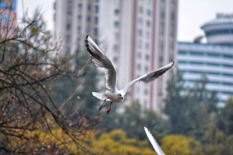鸥 Flying Mid-air Spread Wings Bird Motion Outdoors Animals In The Wild