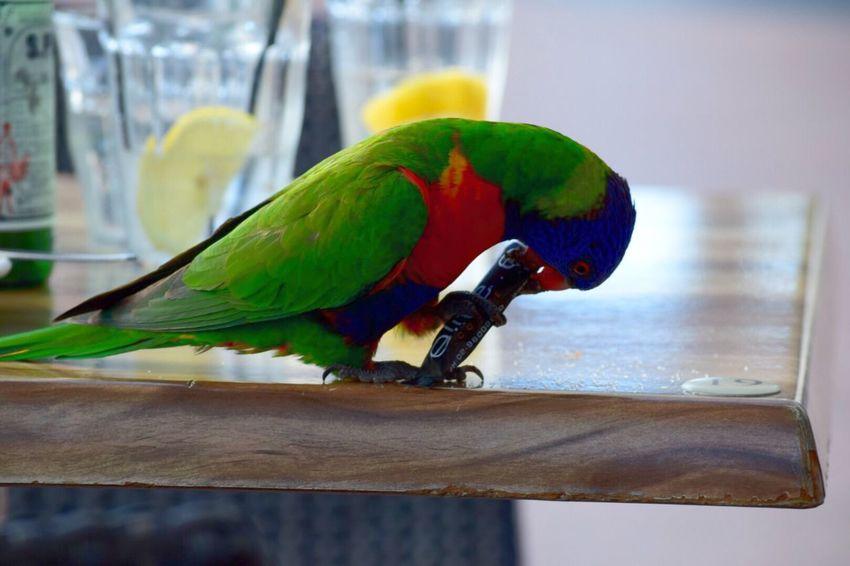 Rainbow Lorikeet 🇦🇺 Sydney, Australia Nikonphotography Travel Photography Cafe Time Bird Photography Birdwatching Birds_collection EyeEm Birds Rainbowlorikeet Noedit