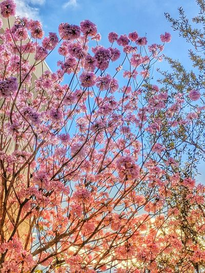 The City Beautiful Backgrounds Beauty In Nature Blossom Branch Close-up Day Flower Fragility Freshness Growth Low Angle View Nature No People Outdoors Sky Springtime Tranquility Tree