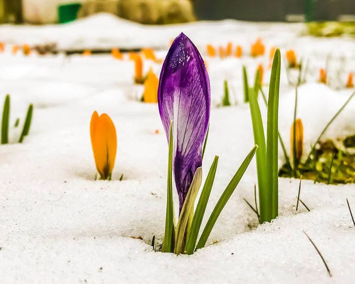 Almost spring Spring Flowers Spring EyeEmNewHere EyeEm Nature Lover EyeEm Selects Flower Fragility Flower Head Nature Beauty In Nature Petal Purple Freshness Focus On Foreground Close-up Crocus Plant Springtime Growth Day Outdoors No People