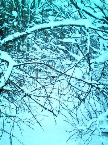 Яблоки в снегу. Природа Карелии. Природа природароссии природа и красота красотаприроды Лес лес и природа зима карелия пейзаж пейзаж и природа прогулка снег деревья загадочныйлес ветки яблоки природнаякрасота яблоня яблокивснегу Apple Nature No People Beauty In Nature Day Tree Outdoors