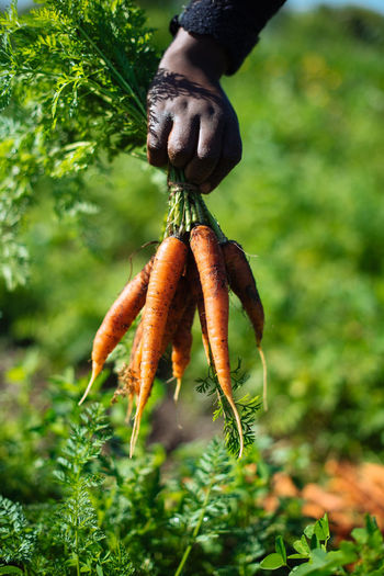 Close-Up Of Hand Holding Carrots