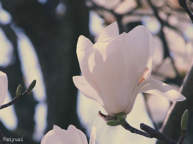 千葉県柏市、布施弁天 Magnolia Flowerporn EyeEm Nature Lover Magnolia-report-2015