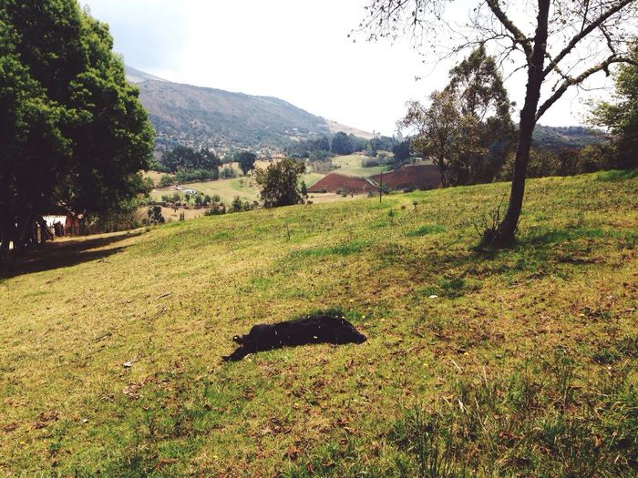 The Life Of A Dog Dog Doglife Countryside Sleeping Resting Black Dog Lawn Green Grass Mountains Guatavita Colombia