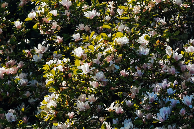 Flowering Plant Flower Plant Beauty In Nature Vulnerability  Growth Fragility Freshness White Color Day No People Close-up Nature Petal Flower Head Outdoors Abundance Springtime Blossom Inflorescence Magnolia Magnolia_Blossom