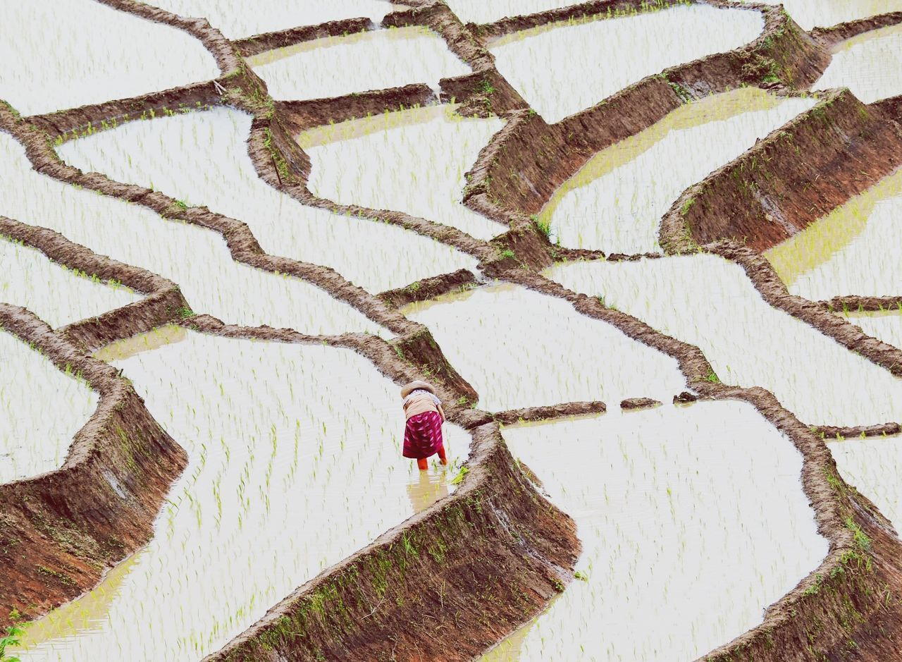 High angle view of woman working in rice field