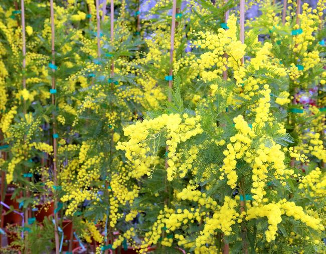 yellow mimosa flowers for International Women's Day Festa IWD International Women Day International Women's Day International Women's Day 2018 Love Mimosa Flowers Background Backgrounds Festa Della Donna Festa Delle Donne Festival Gift Gifts International Woman Day International Womens Day Mimosa Mimosa Flower Mimosa Pudica Mimosa Tree Mimosa Trees Mimosas Mimose Yellow ınternational Women's Day