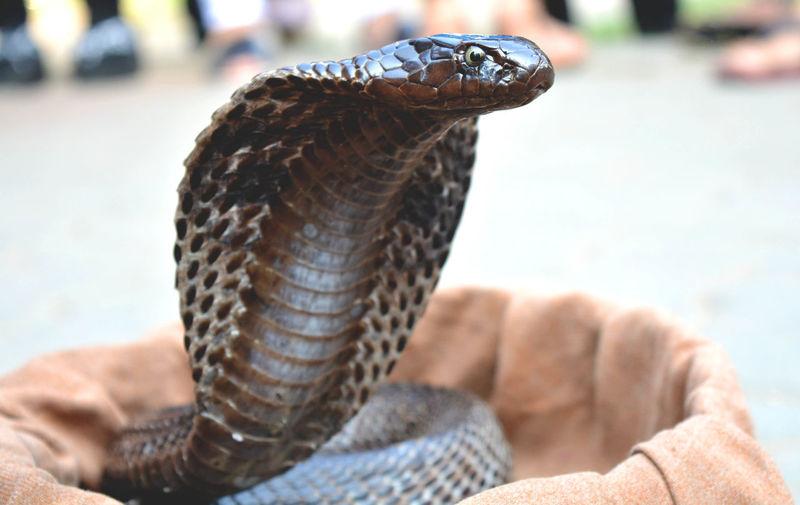 Close-up of cobra