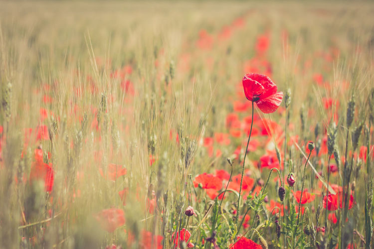 Poppy&wheat Red Red Color RedFlower Poppy Wheat Wheat Field Poppy Flowers Nature Nature_collection Nature Photography Naturelovers Poppy Fields Poppy Poppy Fields Wildflower Close-up Plant Life Ear Of Wheat Grain