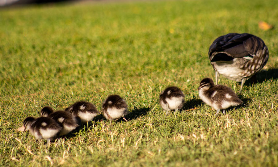 Animal Animal Family Animal Themes Animal Wildlife Animals In The Wild Bird Day Field Flock Of Birds Gosling Grass Green Color Group Of Animals Land Large Group Of Animals Nature No People Plant Selective Focus Vertebrate Woodduck Young Animal Young Bird