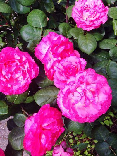 Roses Rose🌹