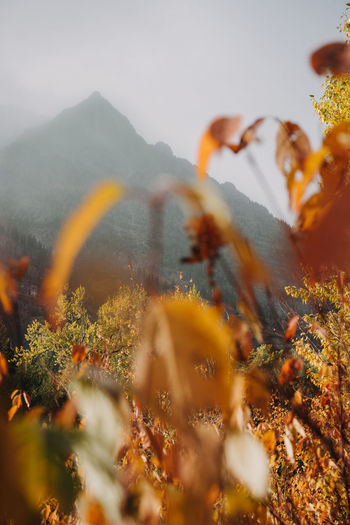 Montana Mountain Mountain Peak Glacier National Park Us National Park Plant Nature Beauty In Nature Selective Focus No People Outdoors Focus On Background Day Growth Land Tranquility Yellow Sky Close-up Tree Orange Color Autumn Change Scenics - Nature