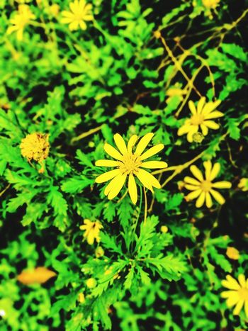 BEAUTY IN NATURE... Yellow Flowers Flower Plant Growth Nature Beauty In Nature Flower Head Green Color
