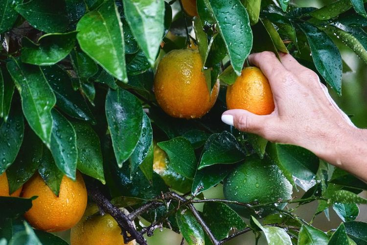 Cropped Hand Of Woman Touching Wet Citrus Fruits