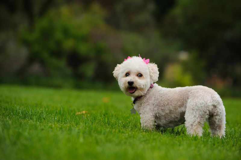 White Miniature Poodle dog outdoor portrait Poodle Animal Themes Close-up Day Dog Domestic Animals Grass Green Color Looking At Camera Mammal Mini Miniature Poodle No People One Animal Outdoors Outside Pets Poodle Portrait White