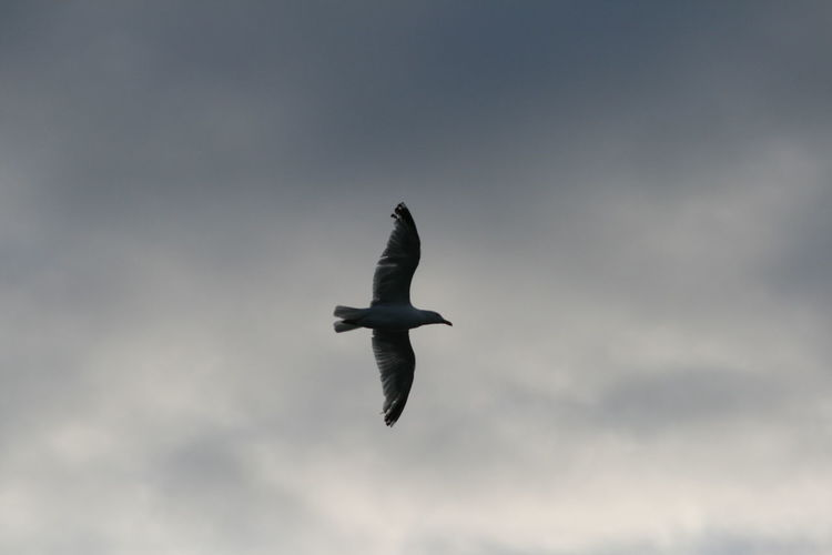 Animal Body Part Animal Themes Animals In The Wild Beauty In Nature Bird Cloud - Sky Day Flying Low Angle View Nature No People One Animal Outdoors Seagull Sky Spread Wings