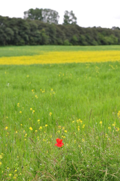 Focus On Midground Grass Green Green Color Nature One Flower Red Small Objects Undefined Miles Away