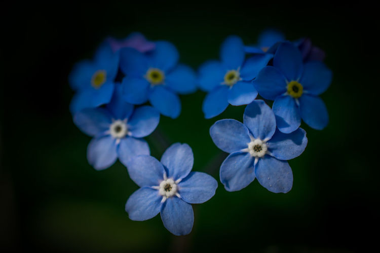 Beauty In Nature Blooming Blue Close-up Day Flower Flower Head Forgetmenot Fragility Freshness Growth Heart Heart Shape Nature No People Outdoors Petal Plant