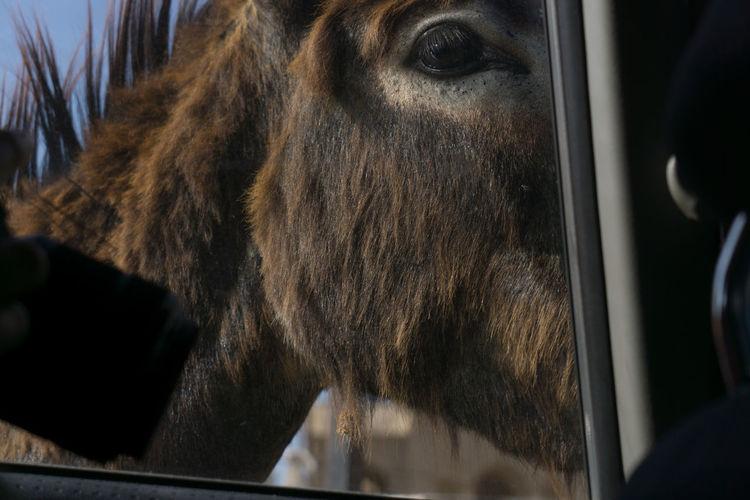 A donkey looking into car at RizokarpasoAnimal Themes Beutiful  Close-up Cyprus Day Dipkarpaz Donkey Eye Eşek From My Point Of View In Car Karpaz Kıbrıs Nature No People One Animal Outdoors Rizokarpaso Summer Travel Travel Destinations Travel Photography Traveling Turkishfollowers