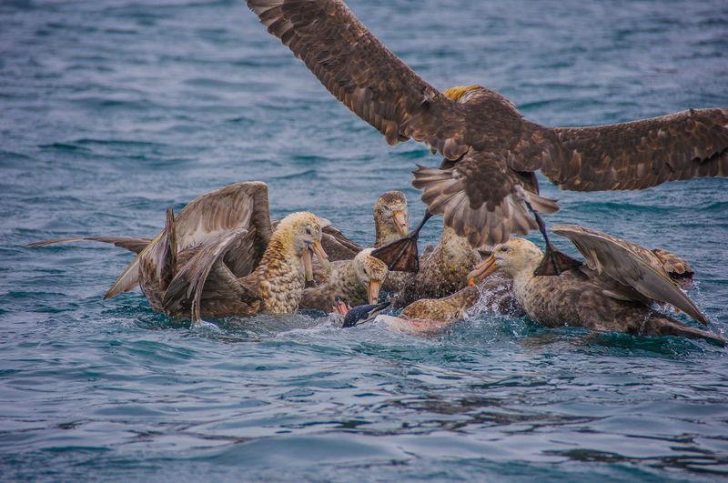 Skuas hunting adelie penguin in sea