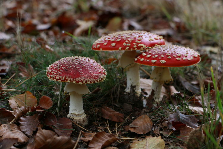 Close-up of fly agaric mushroom growing on field in forest