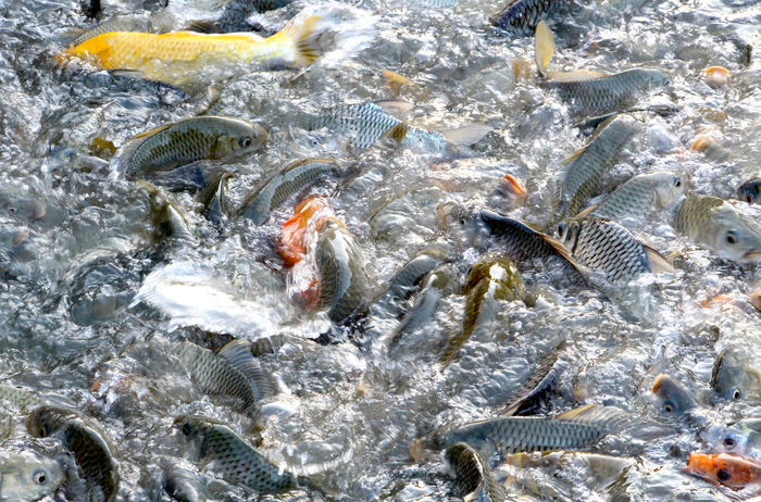 Freshwater fish in the river with abundance in Thailand. Freshwater Freshwater Fish River Abundance Abundant Lifestyle Lifestyle People Market Market Fish Thailand Thai Travel Healthcare Protein Fisherman Fisheries Fishery  UnderSea Backgrounds Full Frame Sea Life Water Close-up Animal Themes Fishing Net School Of Fish Fishes Fish Tropical Fish Fishing Industry