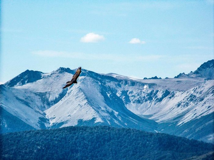 Eagle flying above mountains during winter