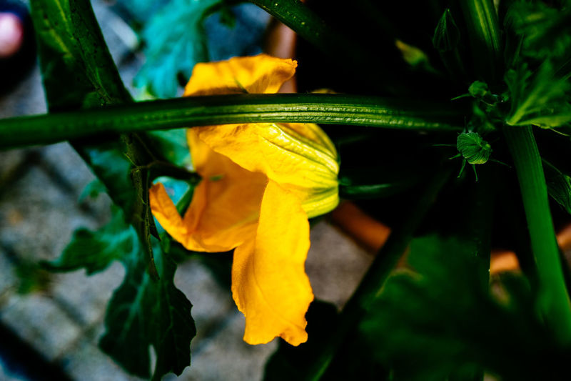 Beauty In Nature Blooming Close-up Day Flower Flower Head Focus On Foreground Fragility Green Color Growth Nature No People Outdoors Petal Plant Selective Focus Yellow Zucchetti Zucchini Flower