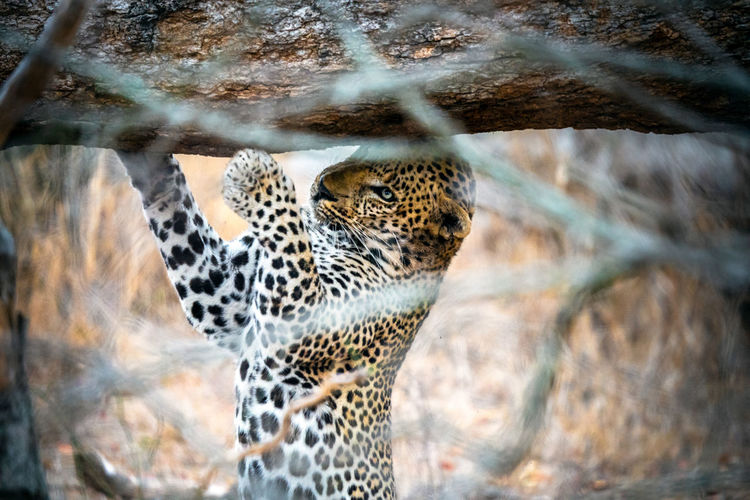 Leopard marking his territory