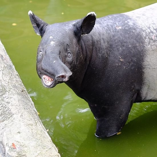 Perfectsmile Zoology One Animal Close-up Mondaymorning Zoo Snout Tapir Smile