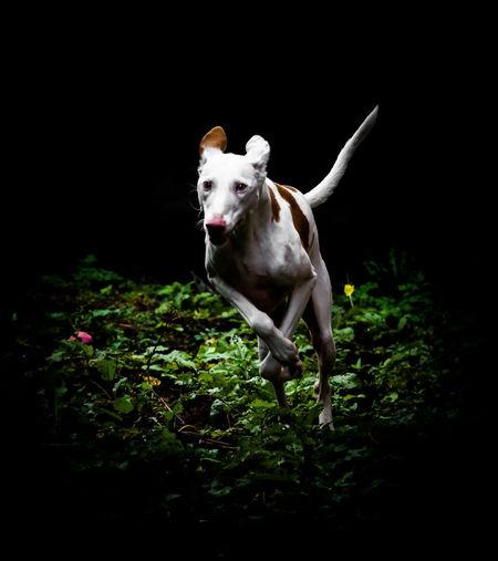 Dog Running In Field