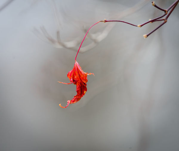 The last one standing. Autumn Beauty In Nature Close-up Foggy Morning Leaf Lone Leaf Nature No People Outdoors Red