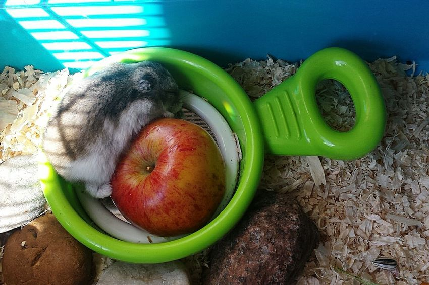 Sleep eating xxxxxxx Nefilian Xxxxxxx Hamster 💞 Apple Feeding  X