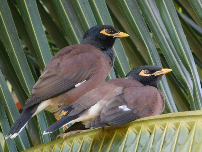 Afternoon Lazy Bird Photography Birds_collection Nature_collection Nature Photography Bird Watching Common Mynah 2 For Joy