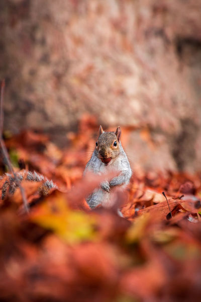 Squirrel-scoiattolo-ardilla Animal Wildlife Animals In The Wild One Animal Close-up No People Nature Outdoors Squirrel Squirrel Photo Animal Colors Lovely Cute Animals Cute Cute Pets