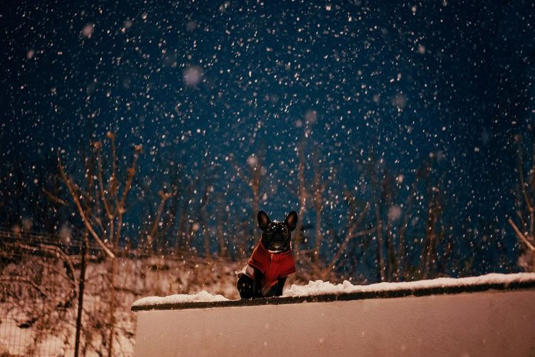 Portrait of french bulldog dog in snow during winter