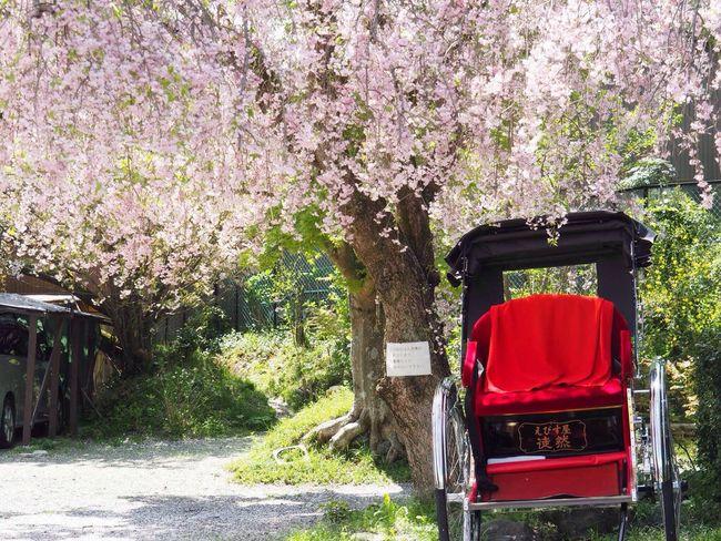 Kyoto Japan Arashiyama Sagano Cherry Blossoms Jinrikisha Sakura Flower Spring Olympus PEN-F 京都 日本 嵐山 嵯峨野 桜 人力車 春