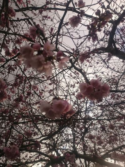 Beauty In Nature Blossom Branch Cherry Blossom Cherry Tree Close-up Day Flower Flower Head Flowering Plant Fragility Freshness Growth Low Angle View Nature No People Outdoors Pink Color Plant Selective Focus Spring Springtime Tree Twig Vulnerability