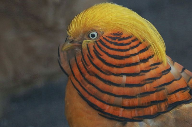 Close-up of golden pheasant