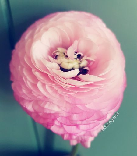 rosa Ranukel, in voller Blüte, wunderschön, wie ich sie liebe Glücklich EyeEm Nature Lover EyeEm Best Shots Enjoying Life EyeEmBestPics Nature Blooming Blossom Beauty In Nature Springtime Ranunkel  Ranunculus Flower Head Pink Color Plant