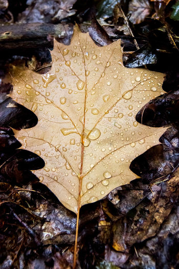 Autumn Autumn Collection Beauty In Nature Change Close-up Day Dew Drop Dry Fall Full Frame High Angle View Leaf Leaf Vein Leaves Maple Leaf Natural Condition Nature No People Outdoors Plant Part Rain RainDrop Water Wet