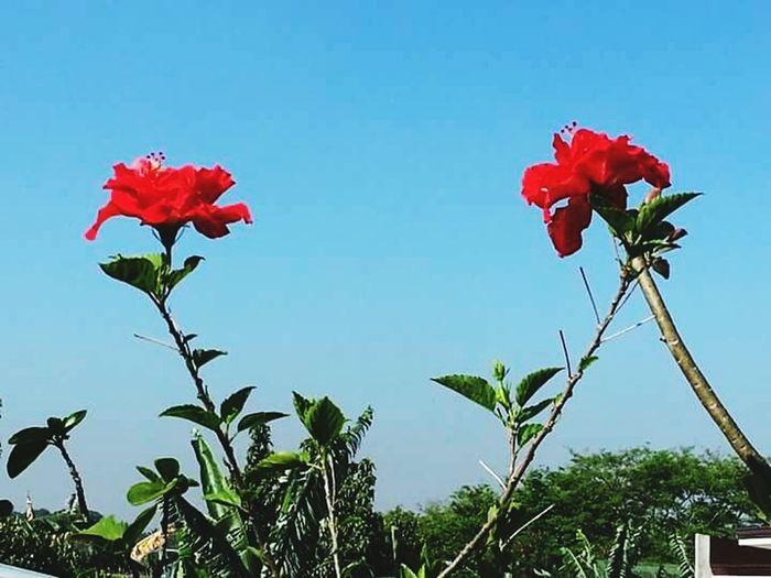 Flowers_collection Flowers,Plants & Garden Flowers Beautiful Flowers Ilove Gumamela Red Gumamela In My Garden