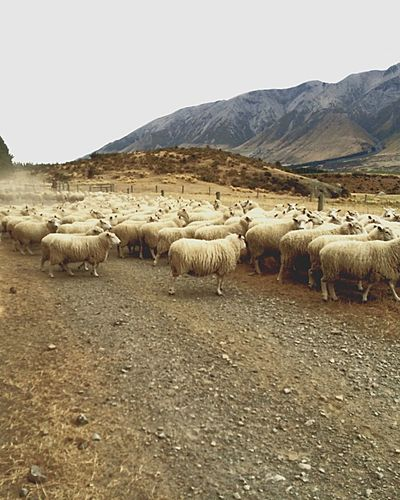 Sheep Sheeps Sheepfarm Sheepsheep Sheeps. Counting Sheep Sheep Meadow Sheep Sheep New Zealand