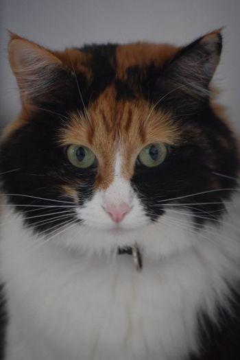 Domestic Cat Pets Feline Animal Themes sushi 💖😻