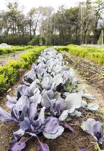 Abundance Beauty In Nature Cabbage, Close-up Day Diminishing Perspective Farm Farm To Table Garden Green Color Growing Growth Landscape Nature No People Non-urban Scene Outdoors Plant Purple Scenics Surface Level Tranquil Scene Tranquility Tree Vegetables