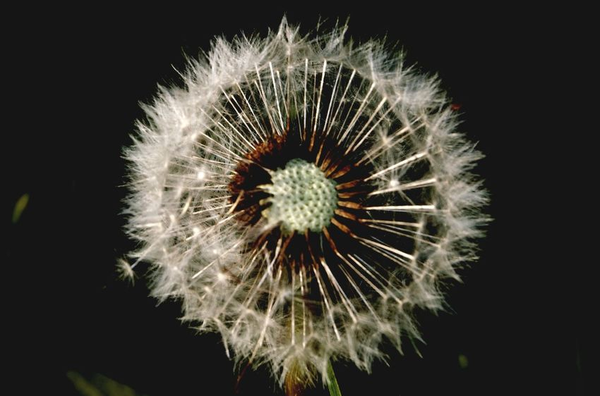 Beauty In Nature Black Background Blown Circle Close-up Dandelion Clock Dandelion Collection Dandelion Seed Day EyeEm Gallery EyeEm Nature Lover Flower Flower Head Fluffy Fragility Freshness Nature No People Outdoors Patterns In Nature Plant Pollen Seed Head White Cut And Paste The Week On EyeEm